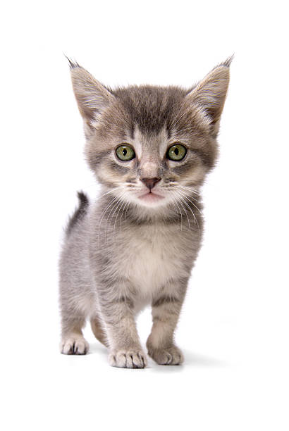 Animals isolated kitten picture id172178271?b=1&k=6&m=172178271&s=612x612&w=0&h=sypvcrflfi2bx4m8gvk1tow7ct6sg6qjwjd6ffk0eco=