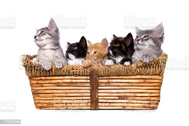 Animals isolated kittens in basket picture id172313258?b=1&k=6&m=172313258&s=612x612&h=wwyow3xl6co20qaslpr4a5wahmlhbtwludbtbboo ds=