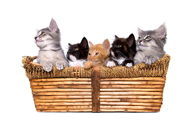 Animals isolated kittens in basket picture id172313258?b=1&k=6&m=172313258&s=612x612&w=0&h=3idditbrgf8ahvly8agksohkjvk jlzmveehx53pj4s=