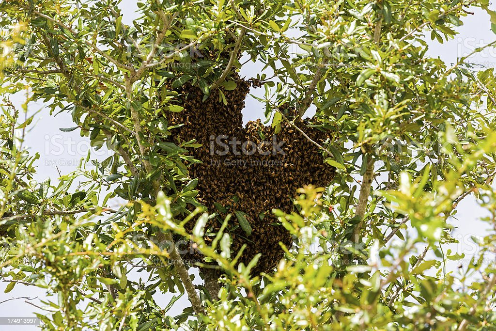 Animals: Killer Bee Swarm stock photo