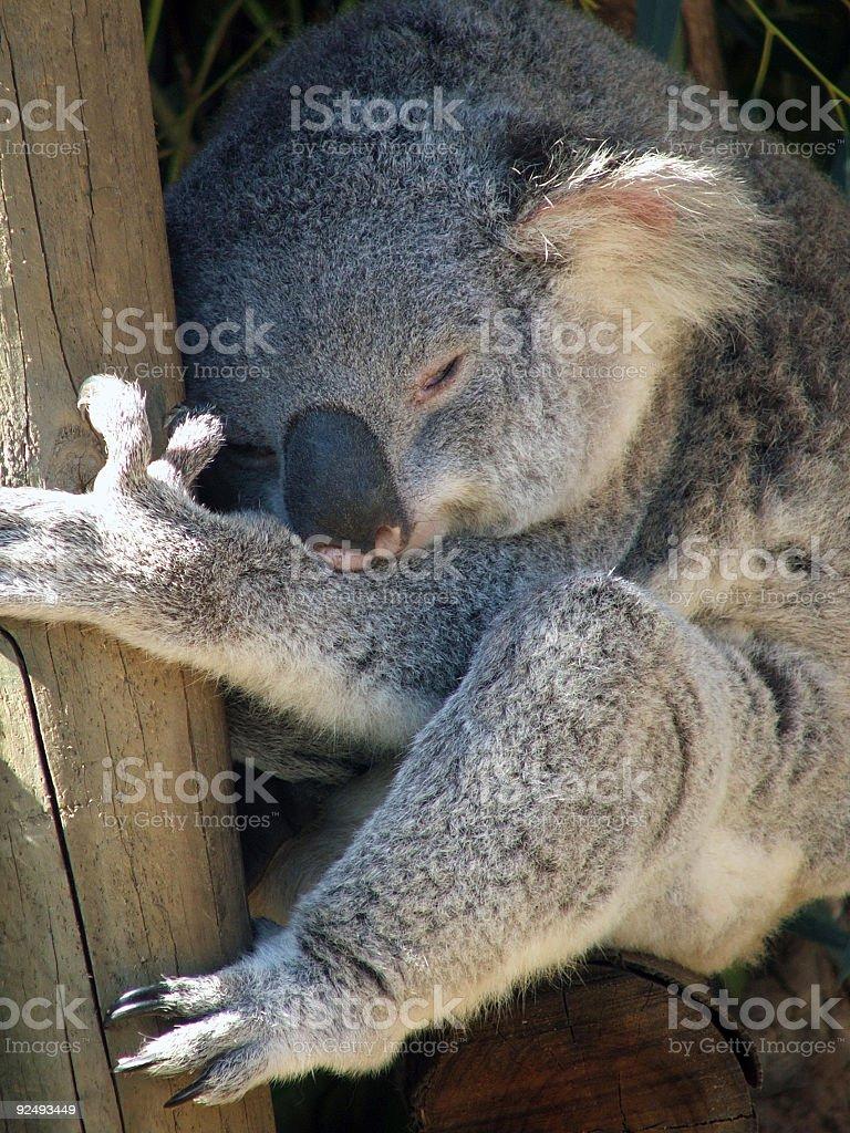 Animals - Koala royalty-free stock photo