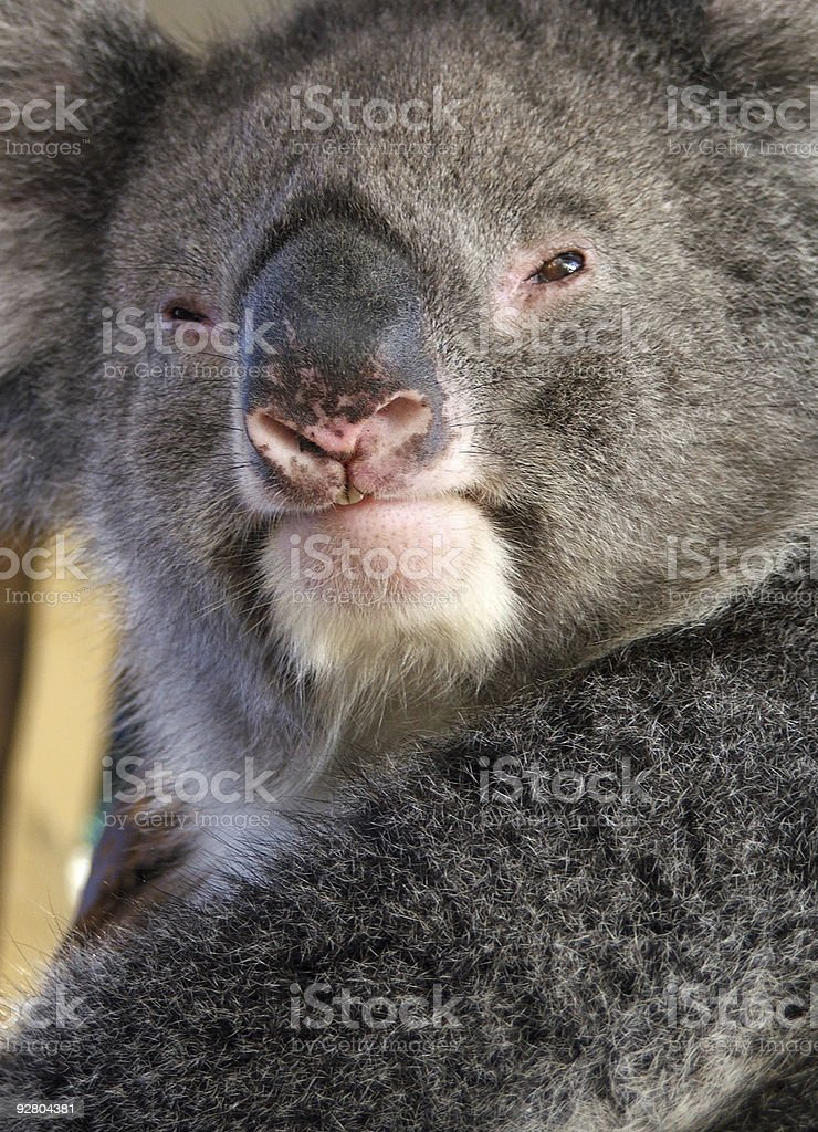 Animals - Koala royalty-free stock photo