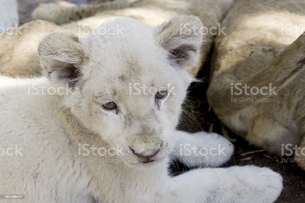 Animals: Lion Cub royalty-free stock photo