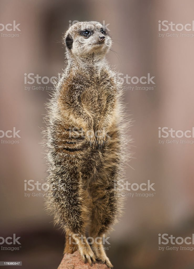 Animals of Africa: watchful meerkat royalty-free stock photo
