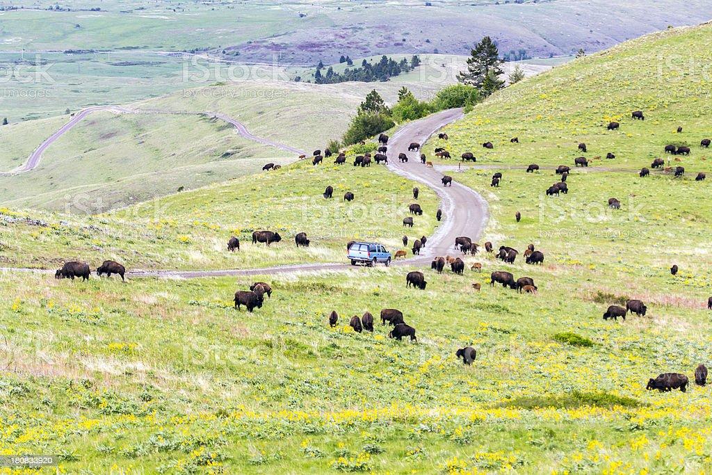 Animals on road at National Bison Range stock photo