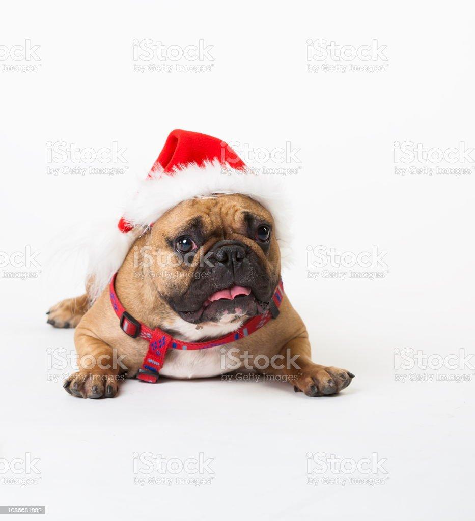 Wonderful beige dog French Bulldog, has red Christmas hat. New Year...