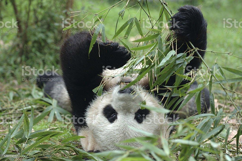 Animals : Panda Eating Laying Down royalty-free stock photo