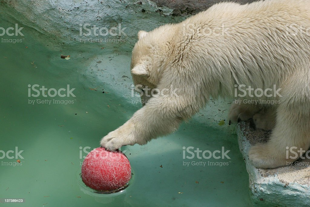 Animals: polar bear royalty-free stock photo