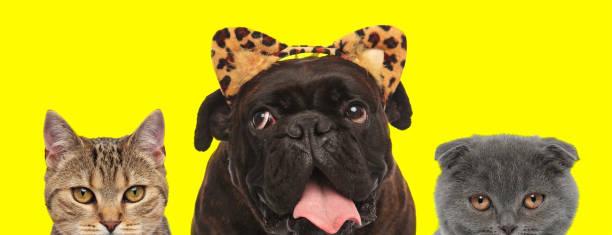 Animals team wearing leopard ears and fooling around picture id1259875796?b=1&k=6&m=1259875796&s=612x612&w=0&h=h8nwkfswzn9fzrikksjjoi3ayh4rbtg3qaj1sdyisyi=