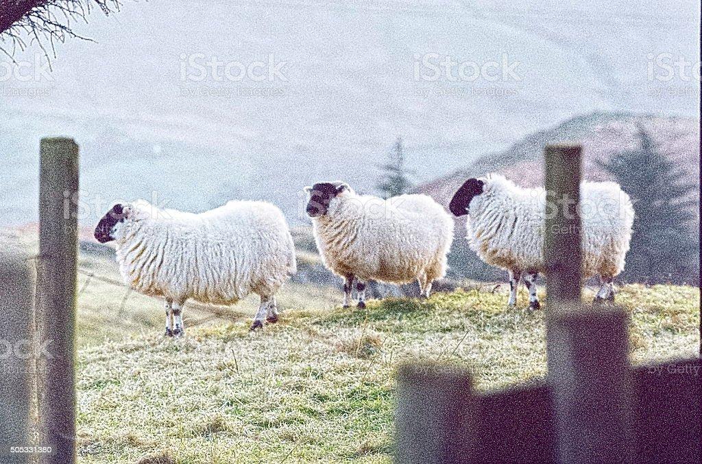 Animals - three Blackface sheep, County Donegal, Ireland stock photo