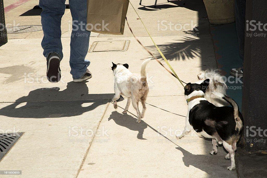 Animals: Three dogs being walked. Sidewalk of Santa Monica California royalty-free stock photo