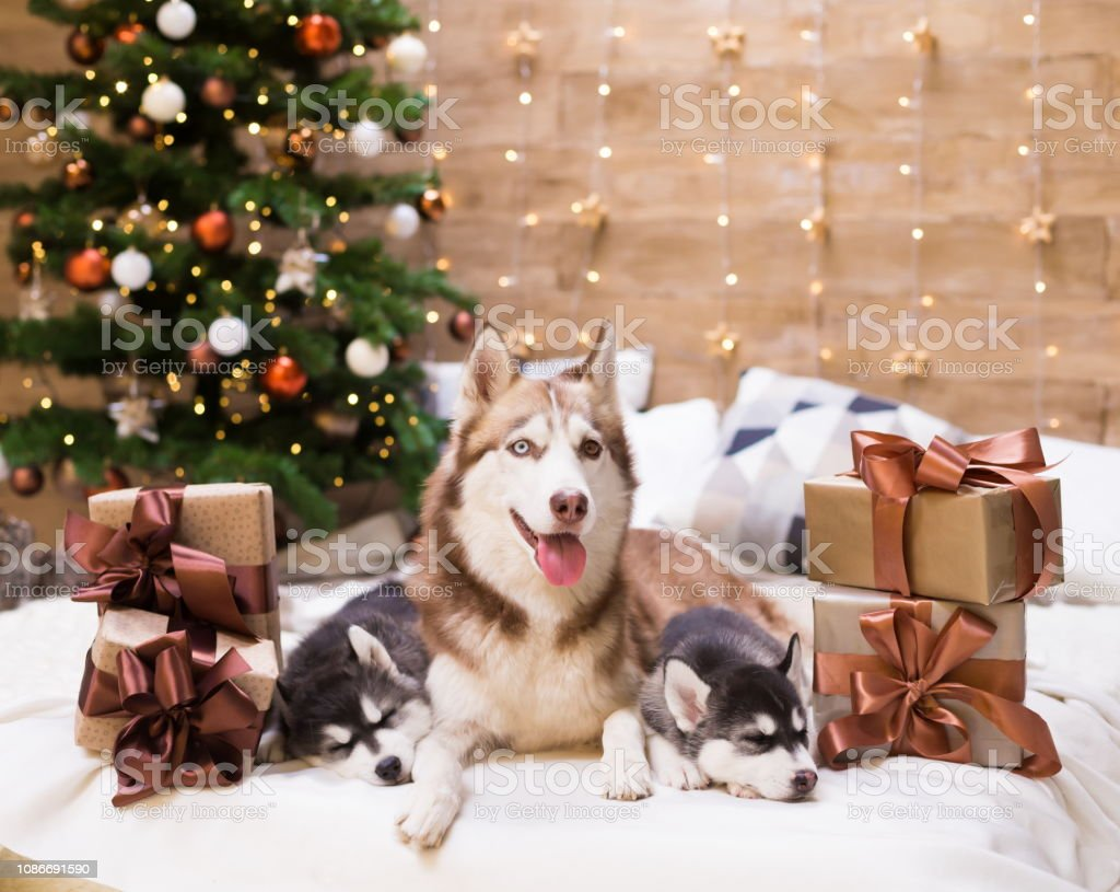 Three dogs Husky, mom and puppy, amazing gift box in background...