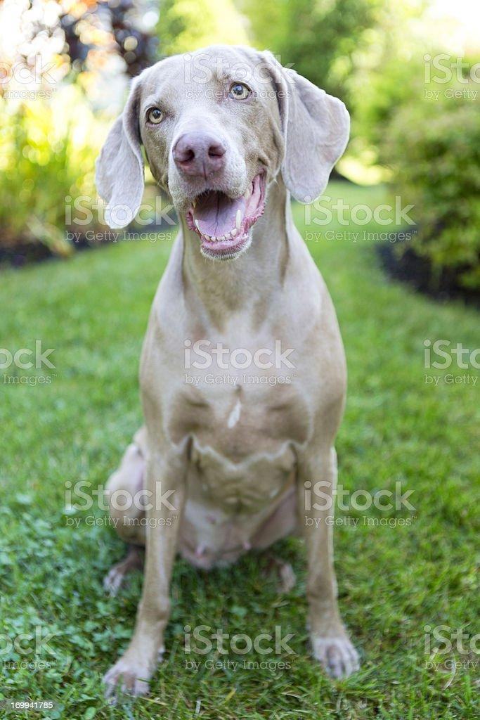 Animaux :  chiens, Weimeramer - Photo