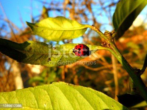 animália coleóptera - coccinellidae – insecta – cucujoidea – animalia – controle biológico – besouro – joaninha