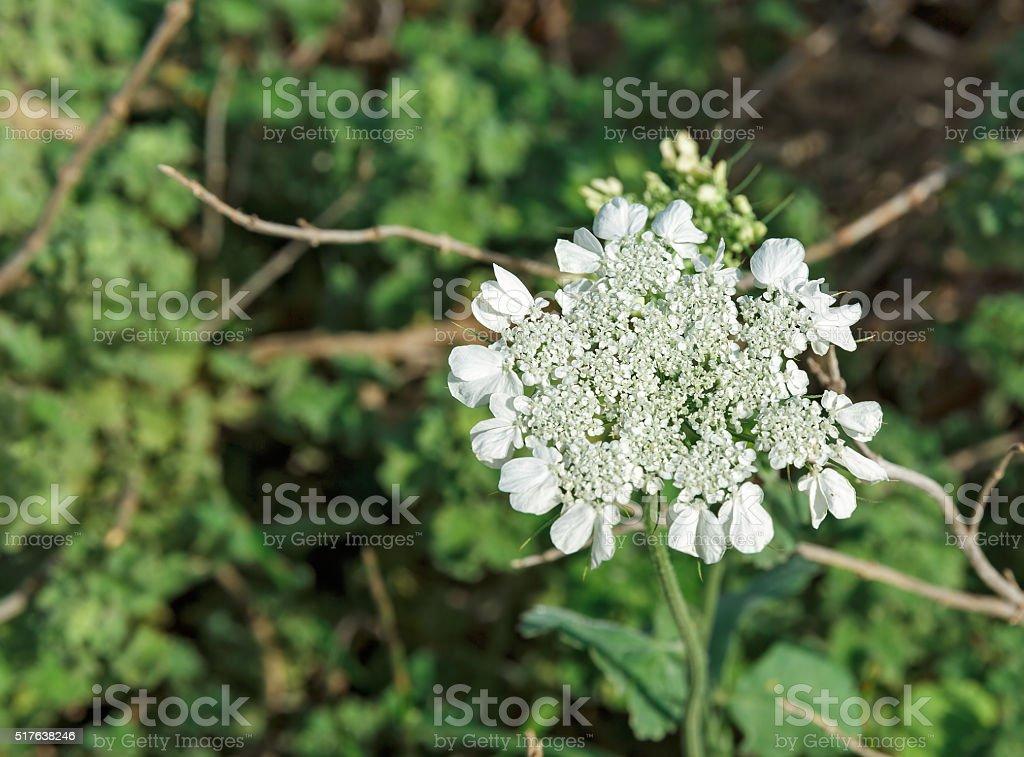 Anis Blumen blühen – Foto