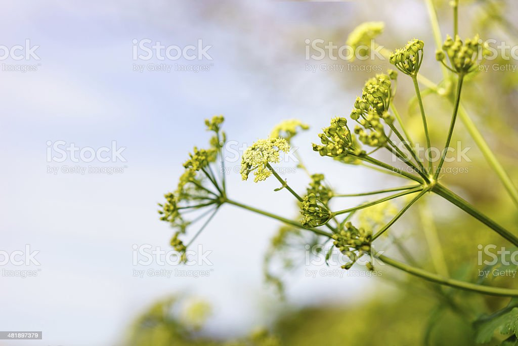 Anise Blossoms stock photo