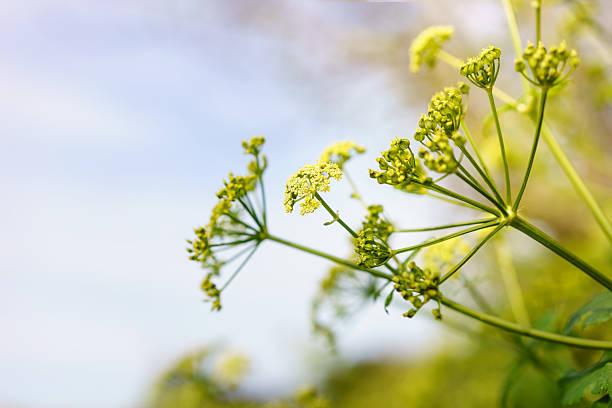 Anis de fleurs - Photo