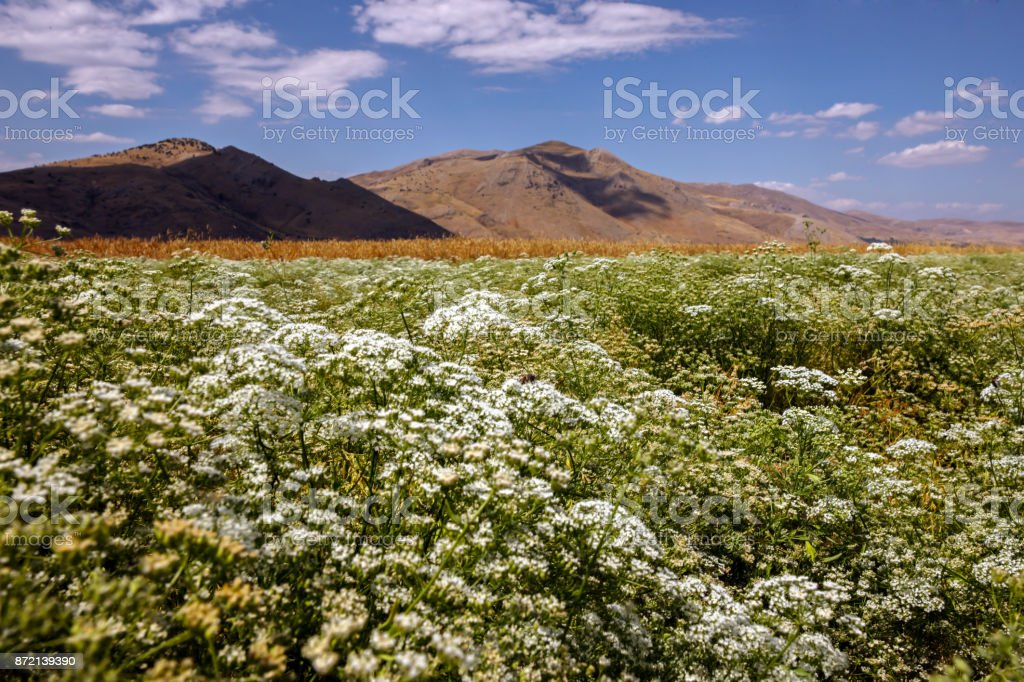 Anise Field In South of Turkey stock photo