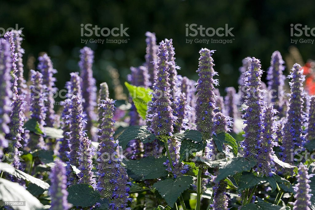Anise hyssop (Agastache foeniculum) stock photo