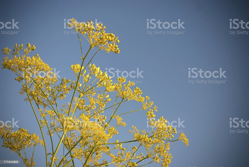 Anise (Anethum Graveolens) stock photo