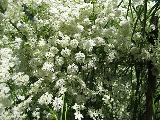 Anis, Pimpinella anisum - Photo