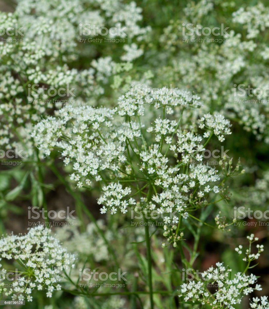 Anise; Pimpinella; anisum stock photo