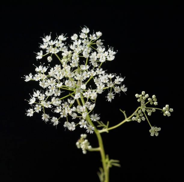 Anis; Pimpinella; anisum - Photo