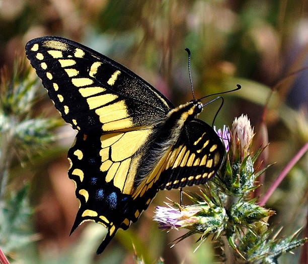 Anise Swallowtail Butterfly 2 Close-up of Anise Swallowtail Butterfly neilliebert stock pictures, royalty-free photos & images