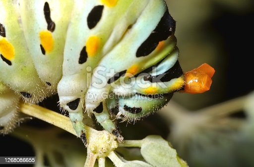 A black, orange, yellow, and green caterpillar with orange hornlike defensive structure (osmeterium) everted from its head.