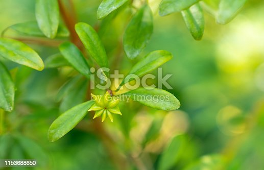 anisetree or anise-tree green spice and leaves close-up. Herbs and spices