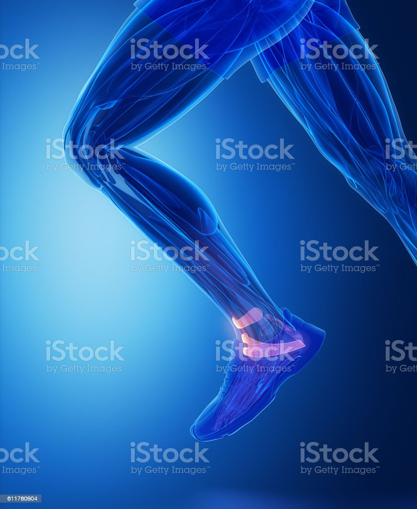 Ankle Ligaments Human Connective Tissue Anatomy Stock Photo & More ...