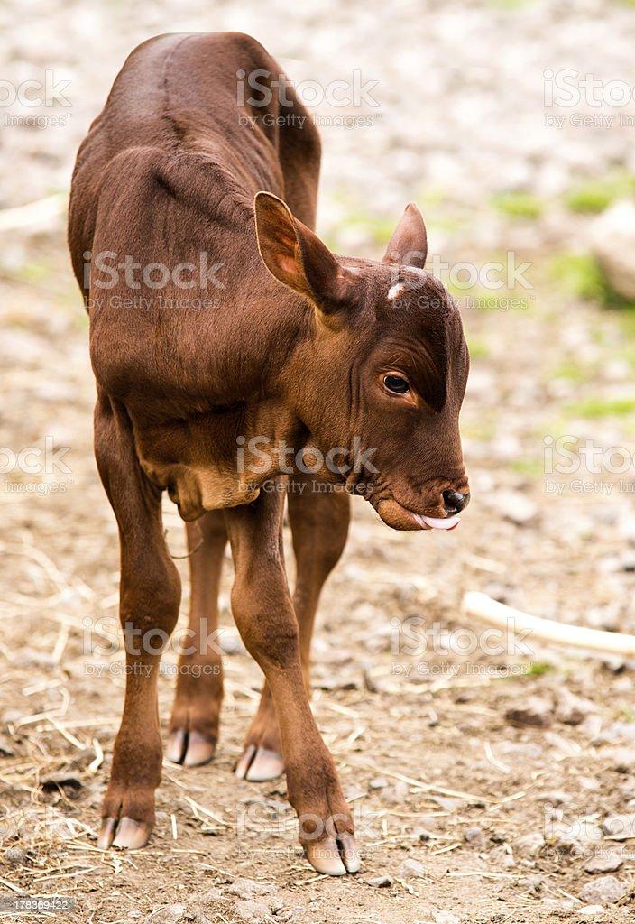 Ankole Longhorn Calf royalty-free stock photo