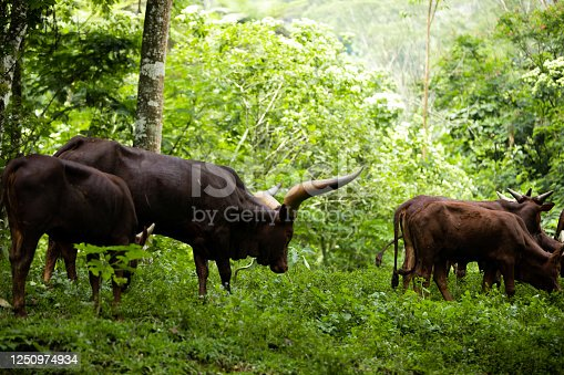 Watusi / Ankole-Watusi / Ankole longhorn (Bos taurus) cows with distinctive horns