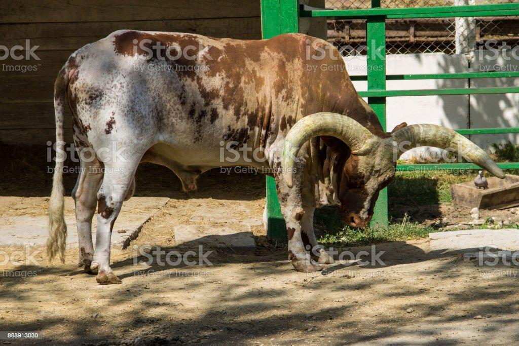 Ankole Watusi cattle  (Bos taurus macroceros) stock photo