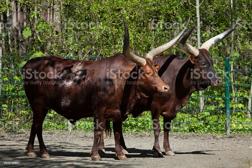 Ankole-Watusi (Bos taurus watusi). stock photo