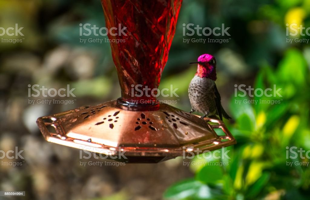 Anna Hummingbird stock photo