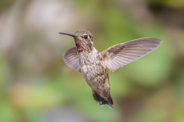 Anna es Hummingbird Captured in Flight, Northern California – Foto