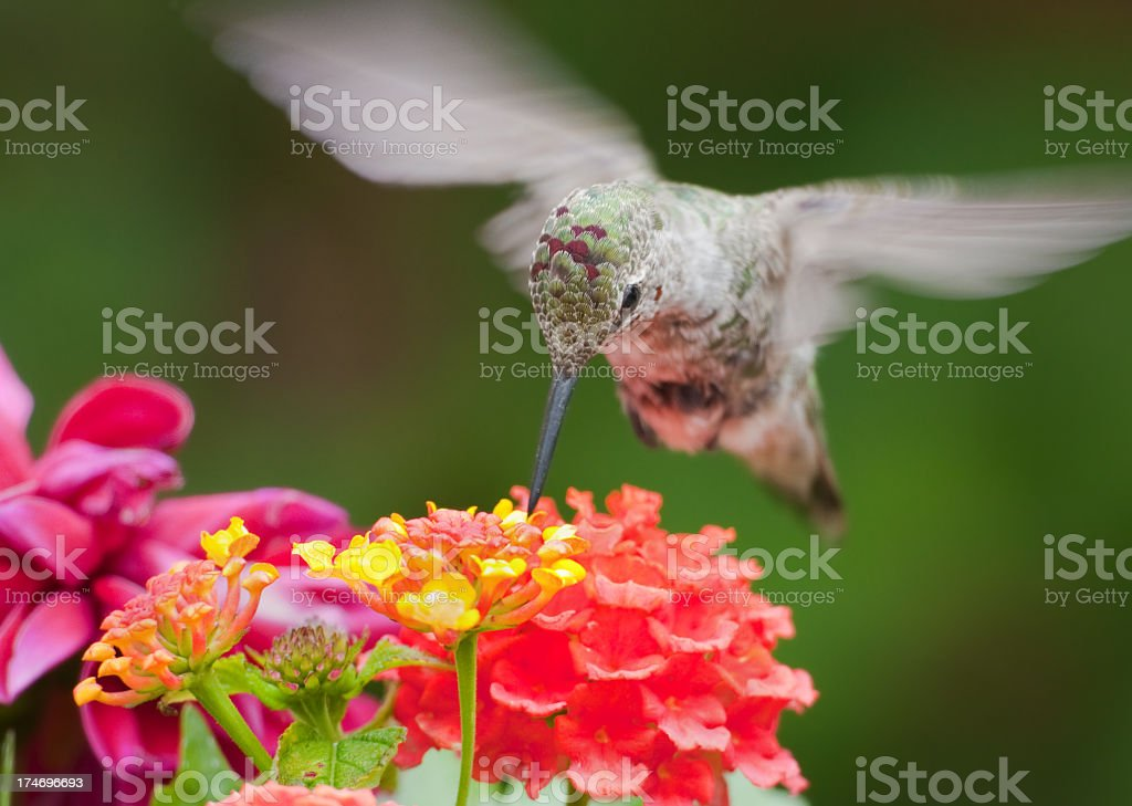 Anna's Hummingbird feeding on Lantana Flowers stock photo