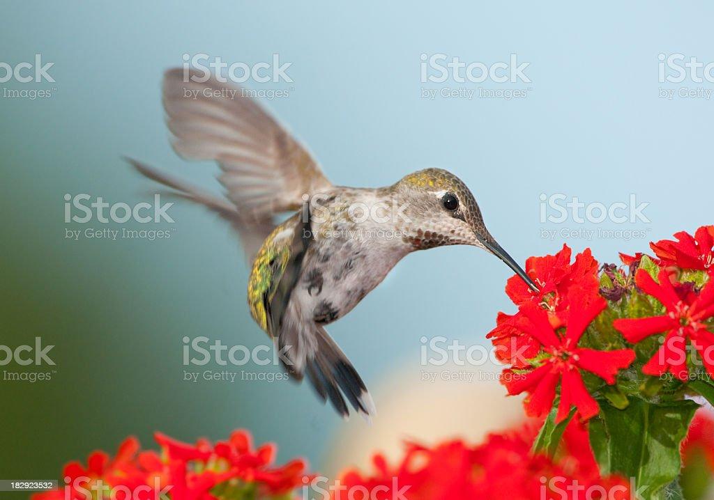 Anna's Hummingbird Feeding on Maltese Cross Flower stock photo