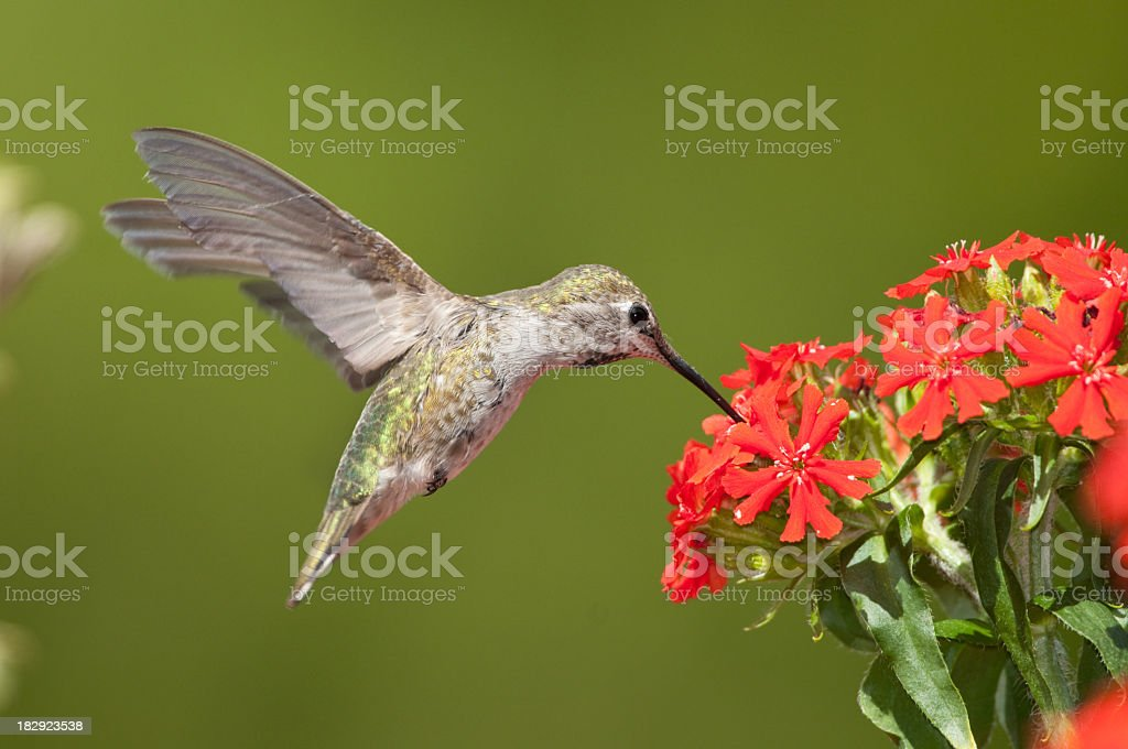 Anna's Hummingbird feeding on Maltese Cross flowers. stock photo