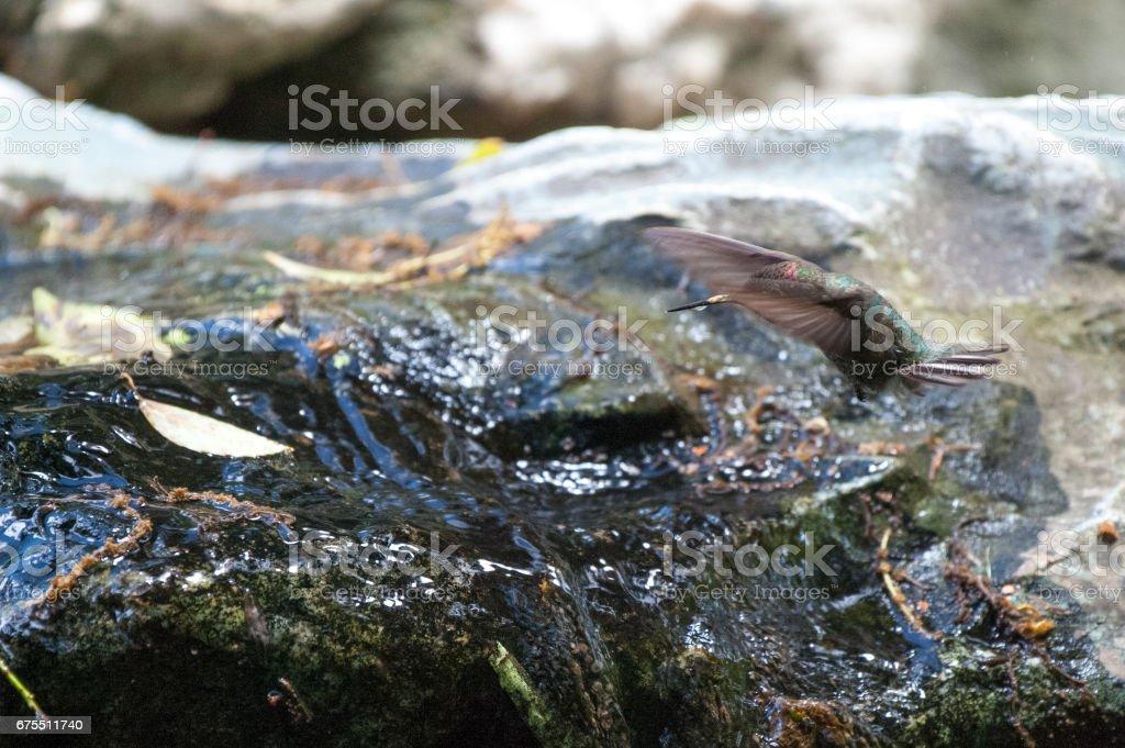 Şelale yanında uçan Anna'nın sinek kuşu royalty-free stock photo