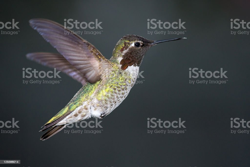 Anna's Hummingbird - Male stock photo