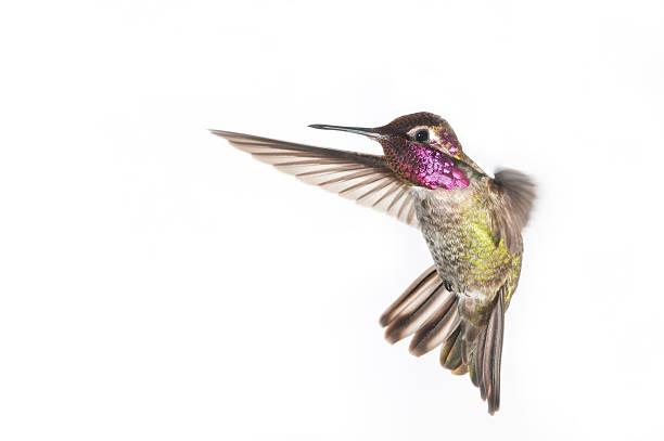 Colibri d'Anna-Malé. Fond blanc - Photo