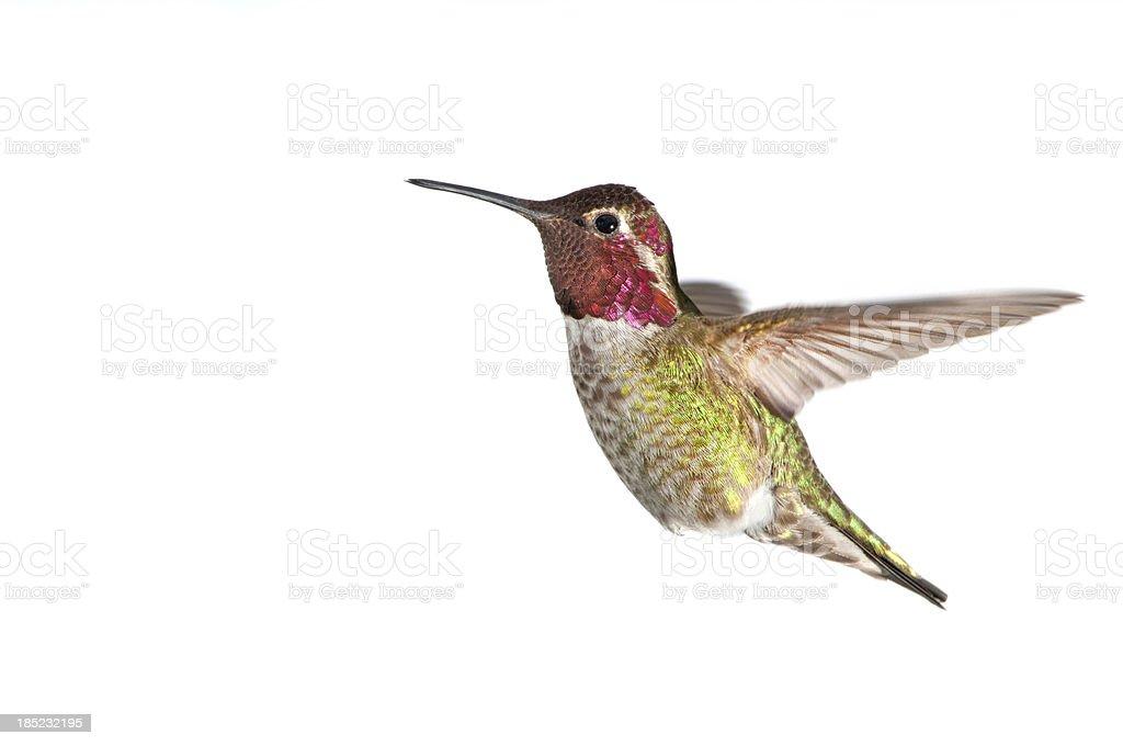 Annas Hummingbird - Male, White Background XL royalty-free stock photo