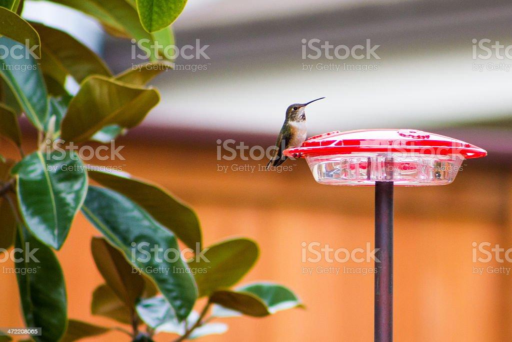 Anna's Hummingbird on Bird Feeder royalty-free stock photo