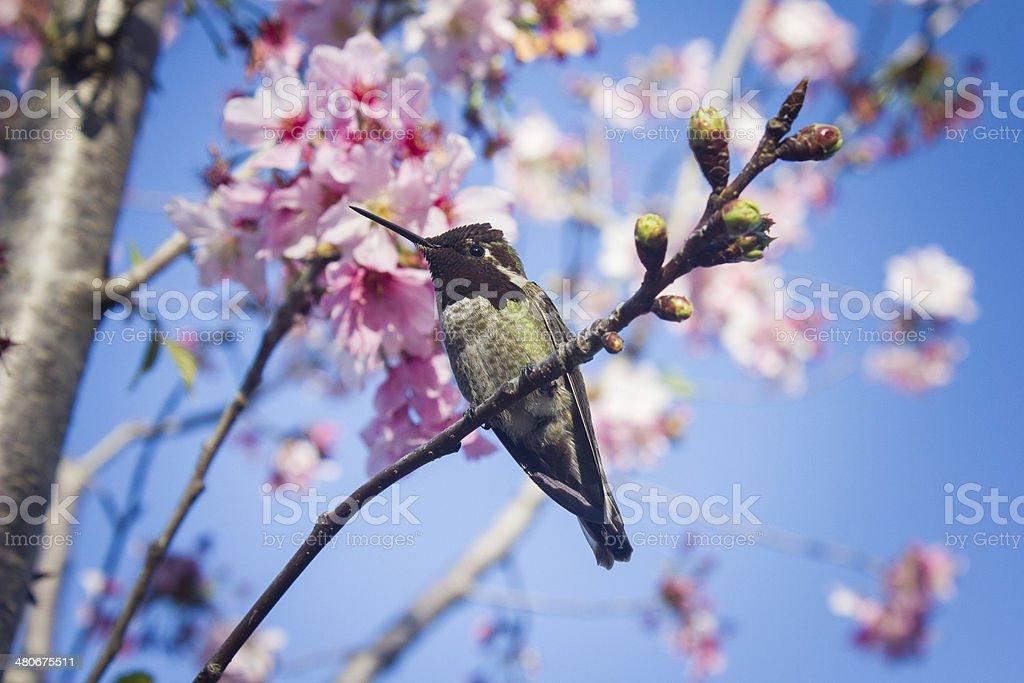 Anna's Hummingbird on Japanese Cherry Tree royalty-free stock photo
