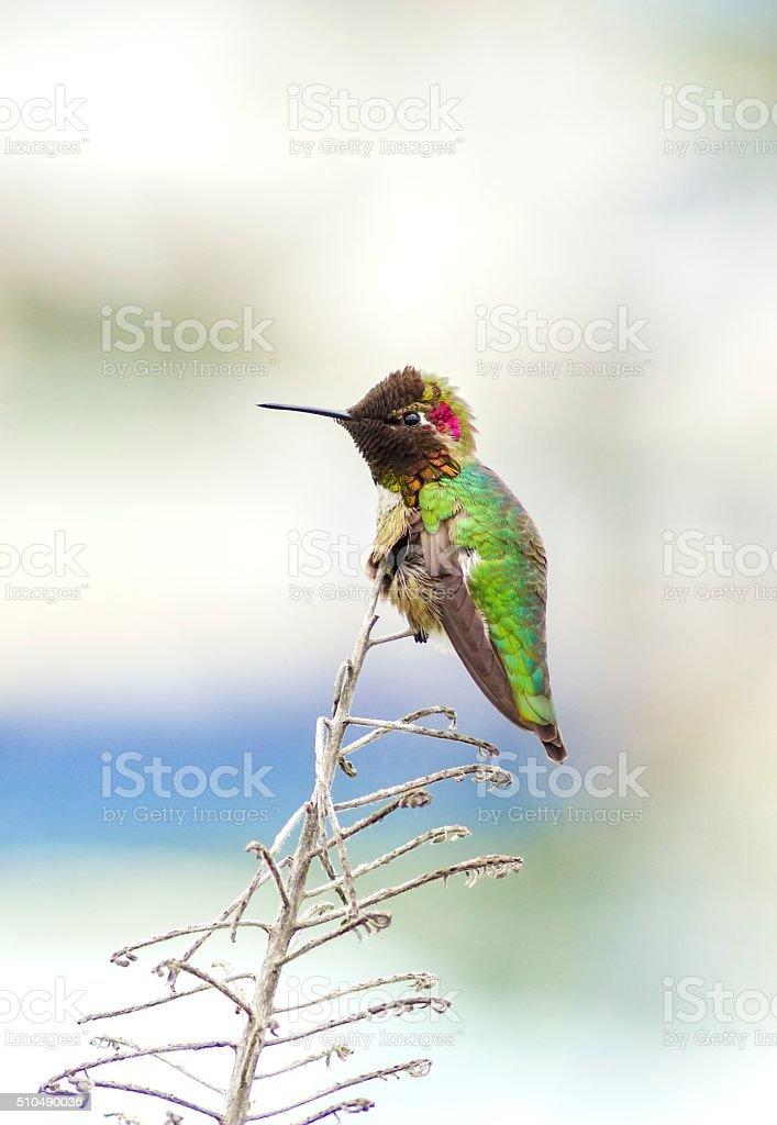Anna's hummingbird stock photo