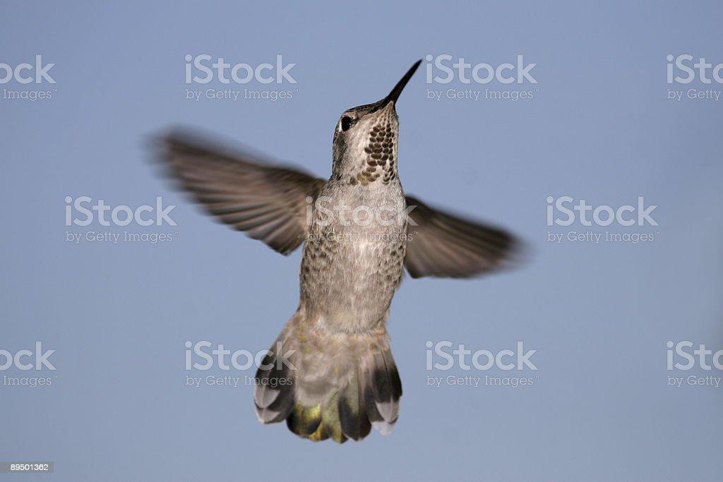 Anna's Hummingbird royaltyfri bildbanksbilder