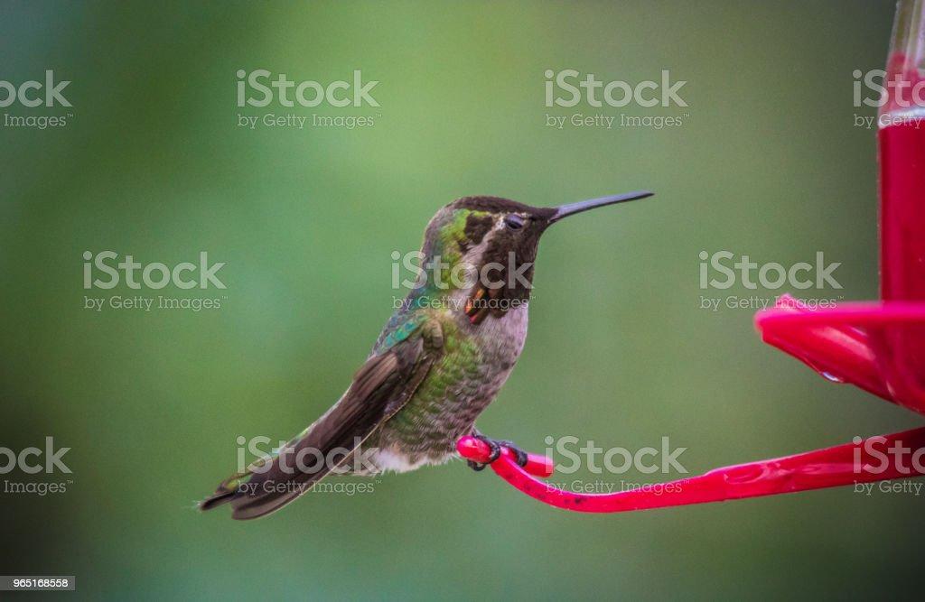 Anna's hummingbird zbiór zdjęć royalty-free