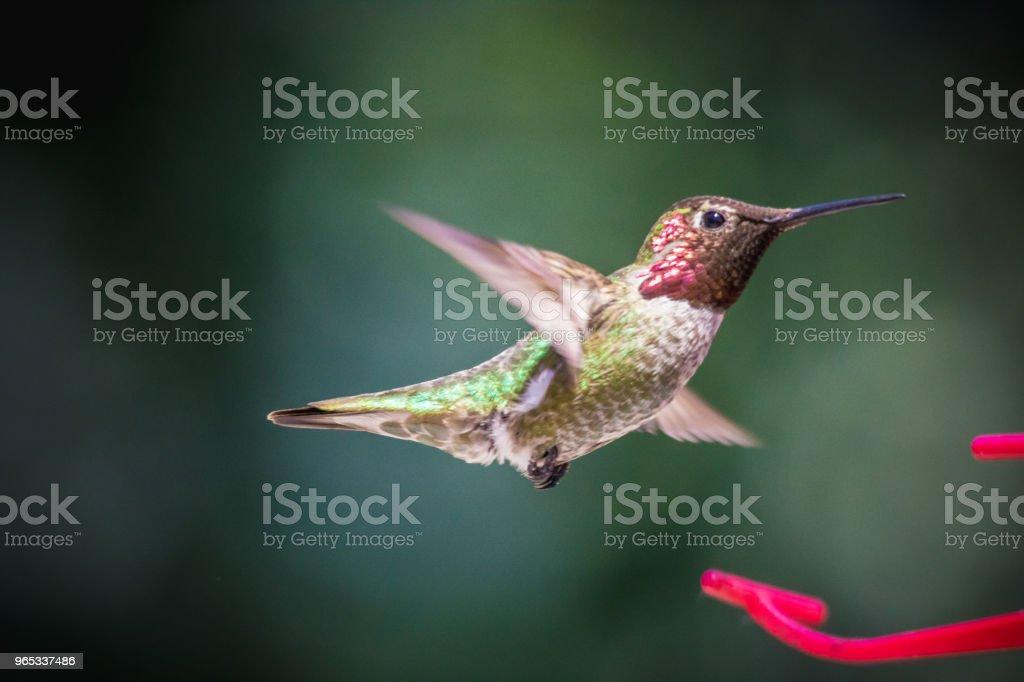 안나벌새 - 로열티 프리 0명 스톡 사진